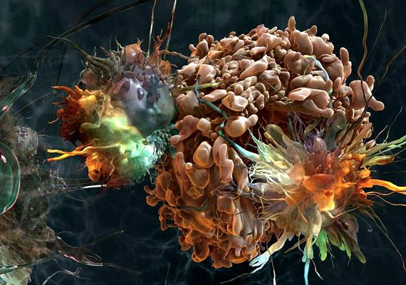 A gyönyörű fenti felvételről sokaknak az apokalipszis juthat eszükbe. Nem állnak távol a valóságtól, hiszen a képet apoptózis, vagyis programozott sejthalál látható. Ez a mechanizmus nemcsak az emberre, hanem a többsejtű élőlényekre jellemző: lényege, hogy a feleslegessé vált sejtek öngyilkosságot követnek el.