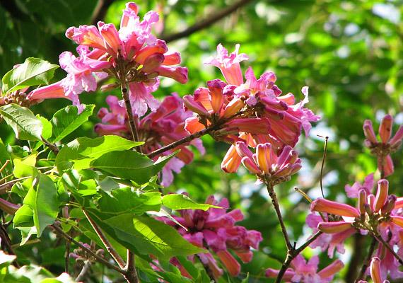 A lapacho nevezetű fa igen hatásos a baktériumok, a vírusok és a mikroszkopikus méretű gombák ellen: gyulladáscsökkentő, és fokozza a szervezet ellenálló képességét.