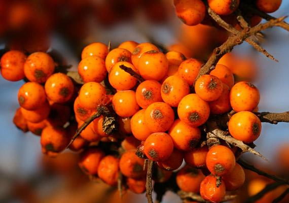 Az ezüstfafélék családjába tartozó homoktövis igen hatékony gyógynövény a náthás tünetek ellen. Fogyaszd tea vagy táplálékkiegészítő formájában.