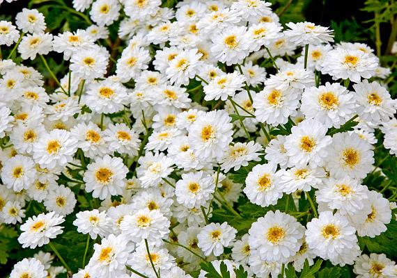 Az őszi margitvirágot már a római idők óta természetes gyógymódként használták fejfájás ellen. Szedheted kapszula formájában.