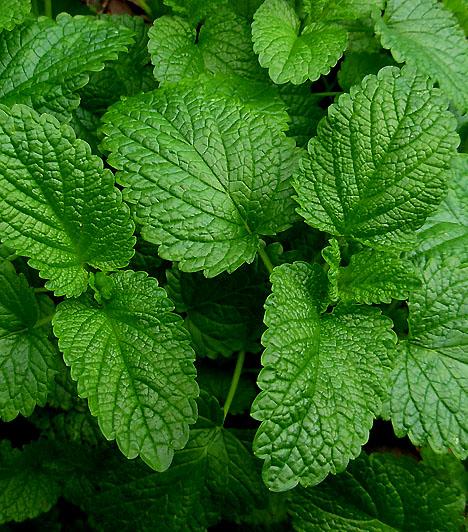 Citromfű                         Már a népi gyógyászat is ismerte a kellemes illatú fűszernövény egészségügyi hatásait. Friss leveleit törd meg kissé, forrázd le, és ha már ihatóra hűlt, akkor ízesítsd mézzel. Legalább három deci teát kell ahhoz elfogyasztanod, hogy a fejfájás elmúljon.                         Kapcsolódó cikk:                         Vírusölő, antibakteriális és természetes nyugtató - Mi az? »