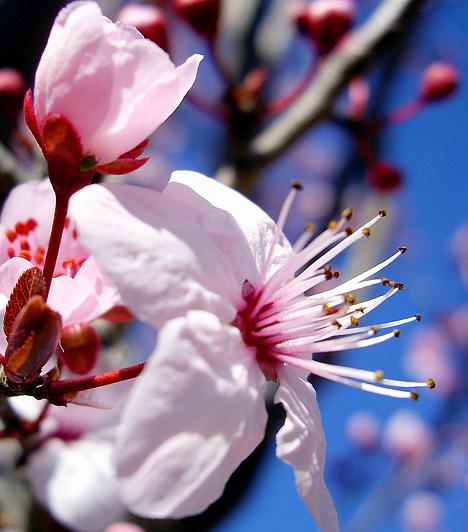 Cseresznyeszilva Ideális esszencia a szorongás és a félelem legyőzésére. Amennyiben gyakran megrettensz az ismeretlen szituációktól, használd a cseresznyeszilvát.Kapcsolódó cikk:Gyógyítsd magad virággal »