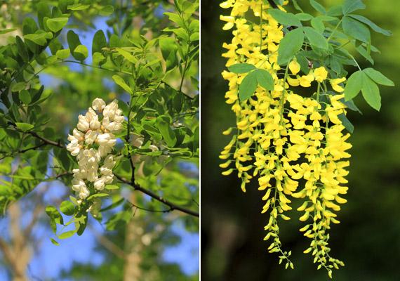 A bal oldalon látható fehér akác - Robinia pseudoacacia - ismert köhögéscsillapító, gyomorsavképzést serkentő növény, míg a jobb oldalon lévő sárga akác, vagy más néven aranyeső - Laburnum anagyroides - erősen mérgező alkaloidokat - citizint, laburnint - tartalmaz. Megkülönböztetni legkönnyebben a virágzatuk eltérő színéről lehet.