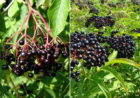 A bal oldali képen látható fekete bodza - Sambucus nigra - fehér virágzatából készült szörpöt mindenki jól ismeri, de érett termése is fogyasztható. Igen könnyű azonban összetéveszteni a hányást, hasmenést okozó gyalogbodzával vagy más néven földi bodzával - Sambucus ebulus. A két növény közötti legjellemzőbb különbségek: míg előbbi fás szárú, és ágai lefelé hajlók, addig utóbbi légyszárú, és ágai felfelé állnak.