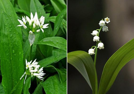 A bal oldali képen látható medvehagyma - Allium ursinum - mérete nem haladja meg a 20-25 centimétert, levelei fokhagymaillatúak. A medvehagyma levelei három-négy centiméter szélesek, ívesen visszahajlók. Bár a jobb oldali képen látható gyöngyvirág - Convallaria majalis - levelei is visszahajlanak, azok jóval szélesebbek, mintegy hat-tíz centiméteresek. Tudj meg többet a témáról!