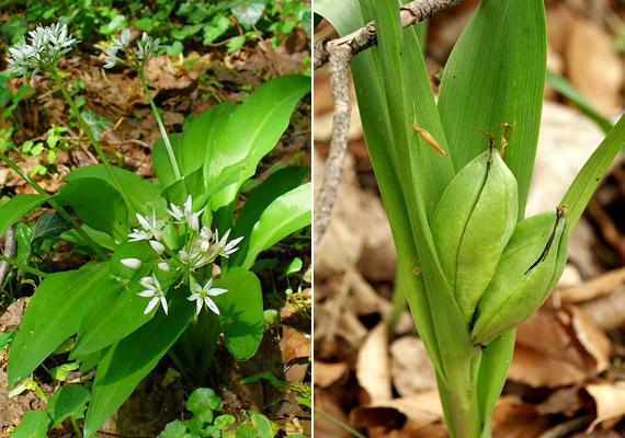 A jobb oldali képen látható mérgező őszi kikerics - Colchicum autumnale - is könnyen összetéveszthető levelei alapján a medvehagymával. A virágzásuk ideje azonban eltérő: a medvehagyma tavasszal, a kikerics - ahogyan neve is mutatja - ősszel virágzik.