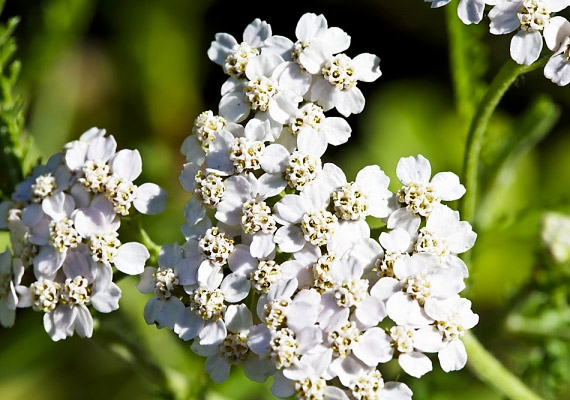 A cickafark - Achillea millefolium - flavonoidjai csökkentik a felfázással járó fájdalmakat, a benne található achillin és azulén pedig gyulladásgátló, illetve baktériumölő hatású. Így készítsd a cickafarkos ülőfürdőt!