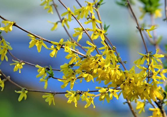 Az aranyvessző - Forsythia - júliustól szeptember végéig kínozza a pollenjére érzékenyeket.