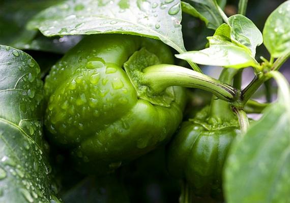 A zöldpaprika rengeteg C-vitamint tartalmaz, sokkal többet, mint a citrusfélék vagy a kivi. A csípős változatok pedig segítenek a nyák feloldásában, enyhítik a torokfájást, és enyhe izzasztó hatással is rendelkeznek. Megfázás esetén igazi telitalálat, ha bírod az erősebb ízeket.