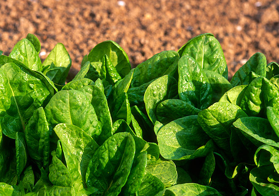 10 dkg sóskában 113 mg kalcium van, emellett a zöldség vasban is igazán gazdag.