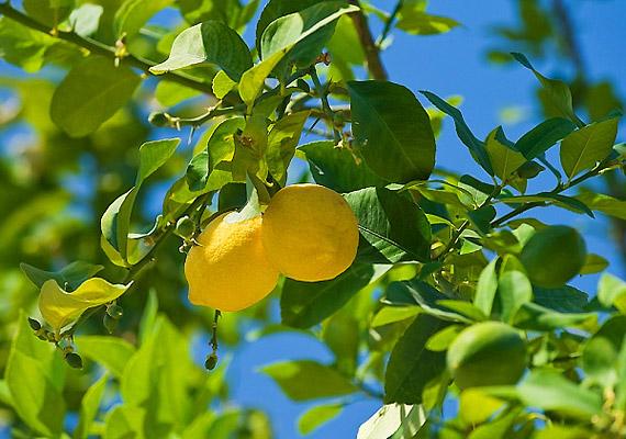 A citrom annak ellenére, hogy savanyú, alacsony cukortartalma miatt nem savasítja a szervezetedet. Fogyassz étkezés előtt fél órával frissen facsart citromlevet.
