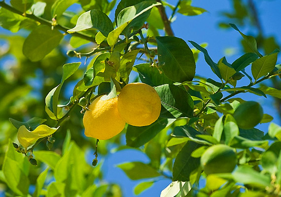 Alacsony cukortartalma miatt nem savasítja a szervezetedet. Fogyassz étkezés előtt fél órával frissen facsart citromlevet.
