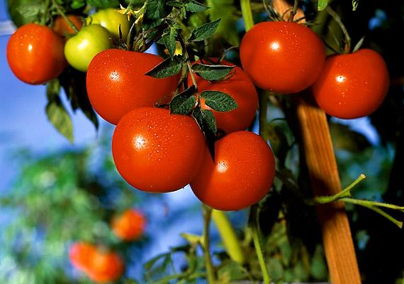 A paradicsom élénkpiros színét a likopin nevű antioxidáns vegyület adja, mely óvja a szervezetet a rákkeltő szabadgyökök károsító hatásaival szemben.