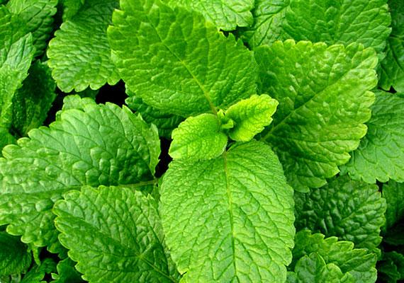 A citromfűből készült illóolaj kitisztítja a légutakat, valamint megszünteti a kellemetlen orrfolyásos-köhögéses tüneteket. Influenzaszezonban párologtasd a hálószobában.