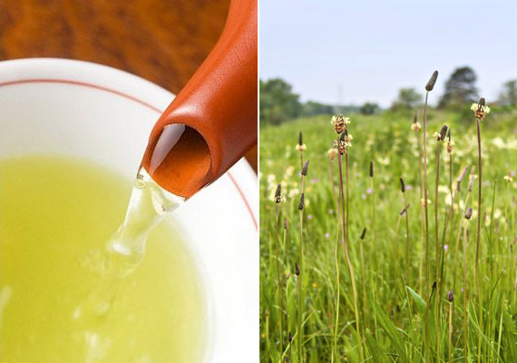 A lándzsás útifűvet - Plantago lanceolata - sokan szirup formájában fogyasztják, de teaként is kiváló természetes köhögéscsillapító. A benne lévő nyákanyagok nyugtatják a gyulladt nyálkahártyát, enyhítik a köhögést, iridoidtartalmából adódóan pedig baktériumölő hatású. Két púpozott teáskanál szárított levelet áztass egy csésze hideg vízbe, majd hagyd állni egy órán át. Ezt követően melegítsd fel, és kortyonként fogyaszd.