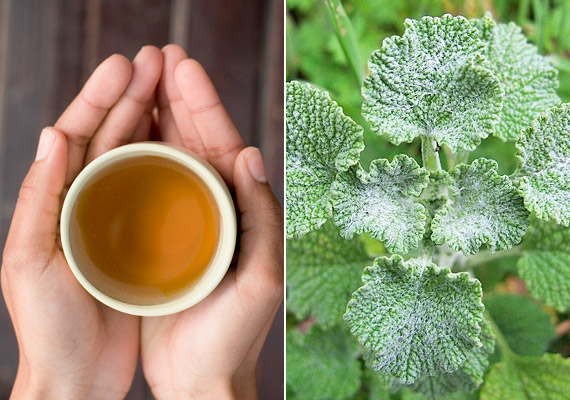 A pemetefüvet - Marrubium hortensis - elsősorban köhögéscsillapító cukorka formájában ismerheted, de teaként is fogyaszthatod. Egy teáskanál szárított pemetefűhajtásra önts egy csésze forró vizet. Hagyd állni öt-tíz percig, majd szűrd le. A nyák feloldására fogyassz a teából több csészével is akár. Tudj meg többet a növényről!