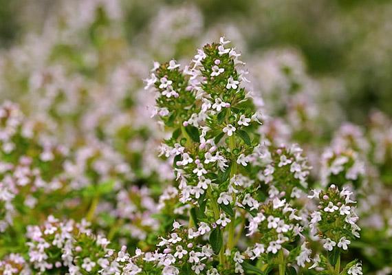 A kakukkfű - Thymus vulgaris - illóolajának legfontosabb anyaga a görcs-, illetve nyákoldó timol. A vegyület közvetlenül aktiválja a hörgőket, pusztítja a baktériumokat és a gombákat, valamint serkenti a bőr vérellátását. Így készítsd a kakukkfűteát!