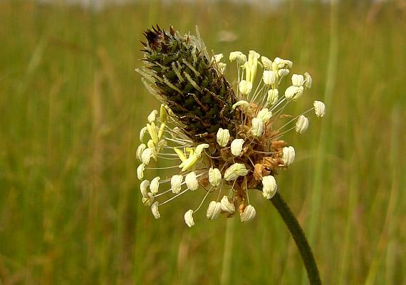 A lándzsás útifű - Plantago lanceolata - levele többek között iridoid-glikozidokat, nyálka- és cseranyagokat, flaovonidokat és ásványi anyagokat tartalmaz. A nyákanyagok nyugtatják a gyulladt nyálkahártyát, enyhítik a köhögést, az iridoidok pedig baktériumölő hatásúak. Két púpozott teáskanál szárított levelet áztass egy csésze hideg vízbe, majd hagyd állni egy órán át. Ezt követően melegítsd fel, majd fogyaszthatod.