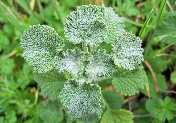 Az orvosi pemetefű - Marrubium vulgare - keserűanyagai oldják a hörgőkben a megfázás miatt letapadt nyákot. A pemetefű tea receptjéért kattints ide!