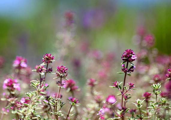 A kakukkfű - Thymus vulgaris - talán a legismertebb köhögéscsillapító gyógynövény. Fontos hatóanyaga a nyák- és görcsoldó timol, mely közvetlenül aktiválja a hörgőkben a nyákot elszállító szőröcskéket, emellett pusztítja a baktériumokat is. Két teáskanál szárított kakukkfüvet forrázz le egy csésze vízzel, öt percig hagyd állni lefedve, majd szűrd le. Köhögés, hörghurut vagy szamárköhögés esetén igyál naponta többször egy csészével - minél forróbban.