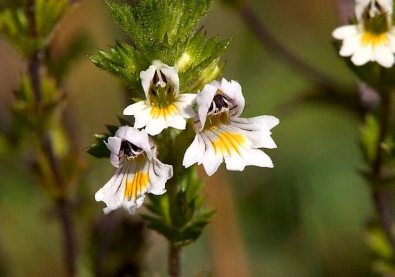 A szemvidítófű - Euphrasia officinalis - nem csupán a szemészeti panaszokat orvosolja. Tannin típusú cseranyagának, illóolajának és keserűanyag-tartalmának köszönhetően gyulladáscsökkentő teát főzhetsz belőle. Forrázz le egy teáskanál szárított növényt egy csésze vízzel, majd hagyd ázni tíz percig. Megfázás, köhögés esetén a szemvidítófű tinktúráját is érdemes bevetned, melyet gyógynövényboltokban vásárolhatsz meg. Tudj meg többet a növényről!