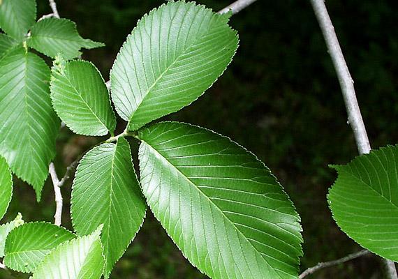 A vörös szilfából - Ulmus rubra - készített tea amellett, hogy enyhe természetes hashajtó, kellemesen nyugtatja a torkot, valamint enyhíti a száraz köhögést. Vásárolj gyógynövényboltban vörös szilt, és forrázz le egy teáskanálnyi szárított növényt egy csésze vízzel.