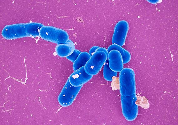 A Listeria monocytogenes baktérium a liszteriózis nevezetű fertőzésért felelős. A betegség különösen a várandós nőkre jelent veszélyt - vetéléshez, koraszüléshez vezethet. A kórokozó elsősorban a húsokon, a tejben, a sajtokban, a nyers zöldség- és gyümölcsféléken található meg, és a hűtőben is szaporodik.