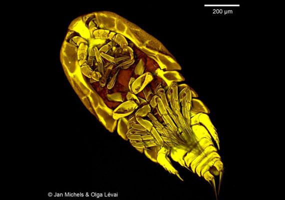 Az evezőlábú rák - Copepoda - akár 2 mm nagyságúra is megnőhet, és volt már rá példa, hogy bekerült az ivóvízhálózatba. Szerencsére az emberre nézve önmagában kevés veszélyt jelent.