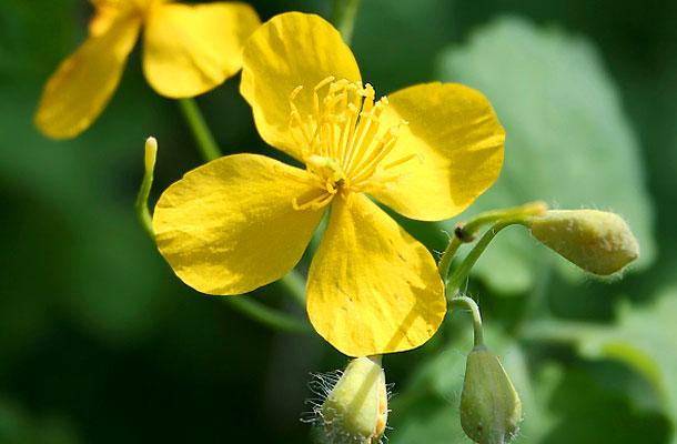 szemölcs növény)