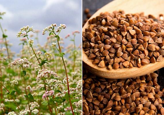 A hajdina élelmirost-tartama körülbelül 4 gramm/100 gramm -, ez több mint kétszerese a fehér rizsnek. Ennek, valamint kálium-, kalcium- magnéziumtartalmának, illetve a benne lévő vasnak, réznek és cinknek köszönhetően kiegyensúlyozottá teszi az anyagcserét. Ráadásul gluténmentes is.