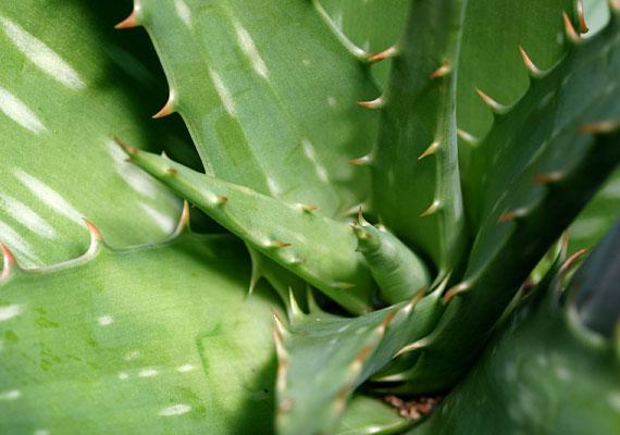 Az aloe vera segít megszünteti az égő, maró érzést. Törj le egy darabot a növényből, és kend át vele az irritált részt.