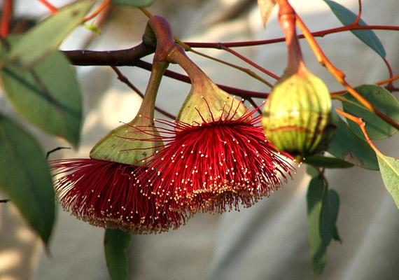 Az eukaliptusz különösen gazdag köhögéscsillapító, fertőtlenítő, izzasztó hatású illóolajokban. A növény forrázata remekül alkalmazható náthás tünetek kezelésére - akár inhalálás, akár tea formájában.
