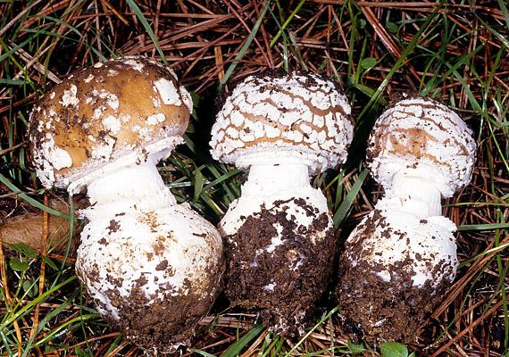 A párducgalóca - Amanita pantherina - okkerbarnás, szürkésbarnás kalapú pettyes gomba. A tönk vége gumószerűen megvastagodott. Idegrendszeri hatást válthat ki.