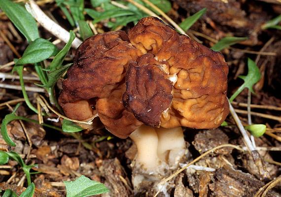 A Redős papsapkagomba - Gyromitra esculenta - nem túl bizalomgerjesztő külseje miatt, valószínűleg nem kerül a tányérodra. Különösen friss állapotban okozhat súlyos mérgezést.