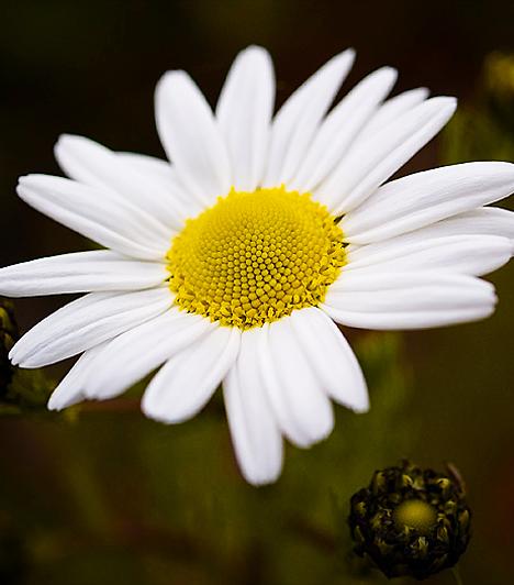 Kamilla A kamilla virágzatának vizes oldata hatásosan alkalmazható a Candida-fertőzés kiegészítő kezeléseként. Egy evőkanál virágzatot forrázz le másfél deciliter vízzel, majd hagyd kihűlni. A fertőzött területet mosd le az oldattal reggel és este. Segítségével csillapíthatod az égő, viszkető érzést.  Kapcsolódó cikk: A hüvelygomba 4 tünete és kezelése »