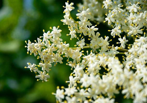 A bodza forrázata csökkenti az allergiás panaszokat, de segít a salaktalanításban is. Egy nagyobb virágot forrázz le két deciliter vízzel, majd hagyd addig hűlni, míg fogyasztható nem lesz. A növény további egészségügyi hatásairól itt olvashatsz.