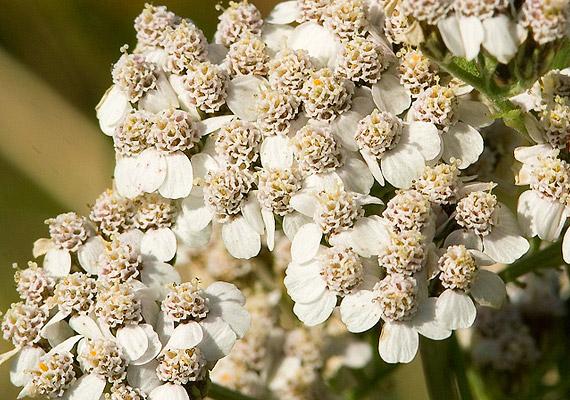 Csészénként egy teáskanálnyi cickafarkat - Achillea millefolium - forrázz le, majd hagyd állni néhány percig. Naponta két-három csészével fogyassz belőle - egy kevés mézzel ízesítheted. A növény további egészségügyi hatásairól itt olvashatsz.