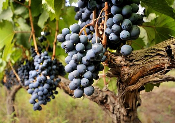Már augusztusban is érik a kékszőlő, mely fitovegyületeinek köszönhetően erős daganatellenes hatással bír. A belőle készülő vörösbor ugyancsak kiváló antioxidáns. Korábbi cikkünkből többet is megtudhatsz róla!