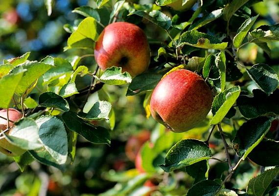 A nyári almában - csakúgy, mint ősszel érő társaiban - kávé-, klorogén-, ellág- és ferulasav található, valamint más fenolok, melyek védik a szervezetet a rákos megbetegedésekkel szemben.