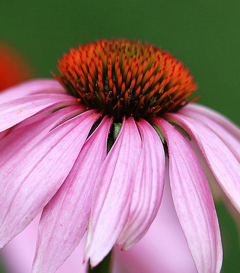 Echinacea-csepp A kasvirágból készült Echinacea-csepp igen hatékony immunerősítő, baktérium- és vírusölő. Ha a megfázás okozza a kellemetlen szájszagot, ezzel legyőzheted. Adj két teáskanál tinktúrát egy pohár vízhez, majd naponta háromszor öblögess vele.  Kapcsolódó cikk: A 7 leghatékonyabb szájvíz »