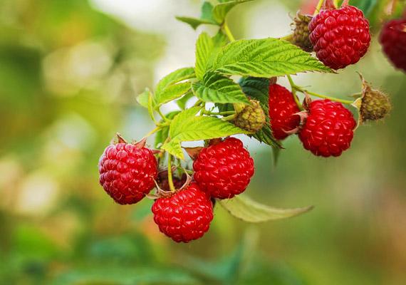 Július végéig még kapható a piacon málna, érdemes naponta beiktatnod az étrendedbe 10 dekagrammot. Ennyi gyümölcsben ugyanis körülbelül 9 gramm emésztést segítő rostanyag van. Ráadásul nemcsak maga a gyümölcs, de a leveléből főzött tea is jótékony hatással van az egészségedre. Tudj meg többet erről!