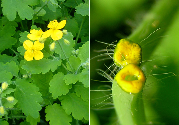 A legismertebb természetes szemölcsirtó a vérehulló fecskefű - Chelidonium majus -, melynek sárga nedvét kell a szemölcs tetejére cseppentened, majd megvárni, amíg megszárad. A növény gyógyhatásáról többet is megtudhatsz korábbi cikkünkből.