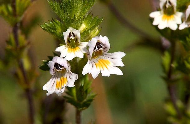 Szemvidítófű – Euphrasia officinalis