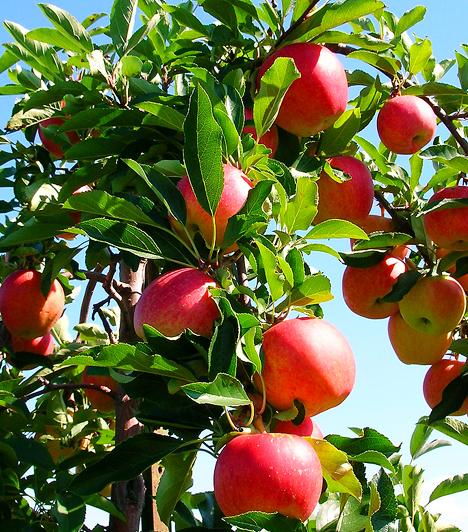 AlmaMár egy közepes alma tartalmazza az orvosok által javasolt napi rostbevitel 10%-át. Ennek köszönhetően fogyasztásával szabályozható a koleszterinszint, így jelentősen csökken a szívinfarktus, az agyi katasztrófa és az érelmeszesedés rizikója.Kapcsolódó cikk:Rákellenes, immunerősítő, szívvédő - Mi az? »