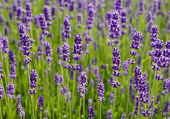 A levendula nyugtató, feszültségoldó hatása miatt kifejezetten alkalmas stresszoldásra. Cserzőanyagok, linolool- és linalil-acetát-tartalmú illóolaj található benne. Egy teáskanálnyi szárított virágot önts le másfél deci forrásban lévő vízzel, hagyd állni lefedve tíz percig. Kevés mézzel ízesítve, lefekvés előtt fogyaszd. Így használd a levendulaolajat!