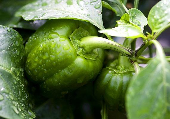 A zöldpaprika, valamint az élénkpiros változatok - például a magyar nemesítésű kápia - 100 g-ja 180 mg C-vitamint tartalmaz. Ha szeretnéd kihasználni immunerősítő tulajdonságát, fontos, hogy nyersen fogyaszd.