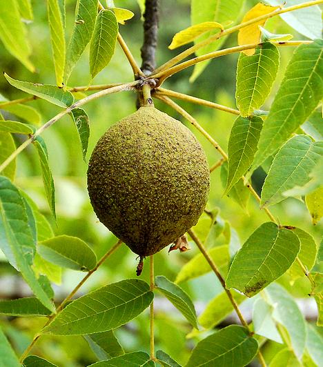 Feketedió Kérgét és gyümölcsét egyaránt használják bőrgombásodás ellen. Korábban daganatellenes hatást is tulajdonítottak neki. Ez a megfigyelés valószínűleg abból adódott, hogy gombaölő tulajdonsága miatt távol tartja azokat a gombákat, amelyeknek bizonyos anyagai rákkeltők.