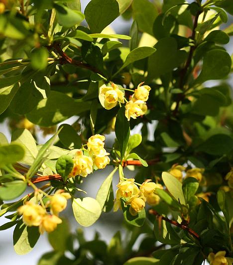 Sóskaborbolya A növény gyökerének kérge vérnyomás-szabályozó, epehajtó és májerősítő hatású. De a sóskaborbolya fertőtlenítő és gombaölő tulajdonsággal is bír. Hatékonyan alkalmazható a húgyúti és a hüvelyi fertőzések ellen.
