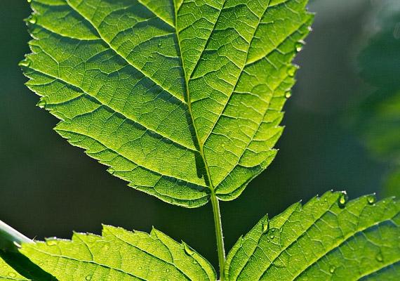 Remek hatással lehet fájdalmaidra a málnalevél, melyet gyógynövényboltokban szerezhetsz be. Olyan alkaloidot tartalmaz, mely a méhizomzat tónusának javításával enyhíti a görcsöket. Egyúttal az erős vérzést is csillapítja. Tudj meg többet a növényről!