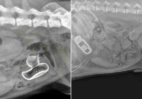 A fenti képek kutyákról készültek, de az orvost valószínűleg így is meglepte a röntgenfelvételen kirajzolódó gumikacsa és kisautó körvonala.
